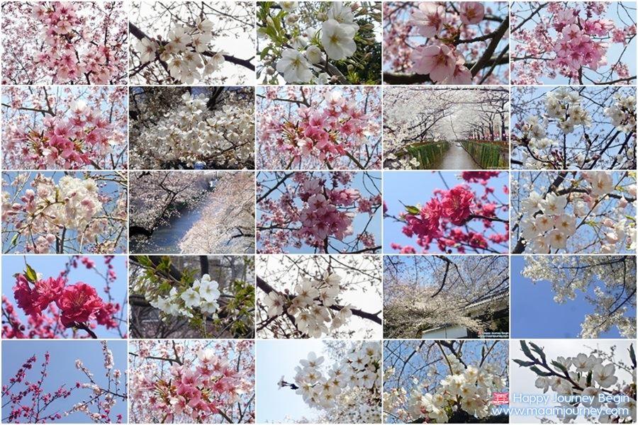 Cherry Blossom_Sakura Japan
