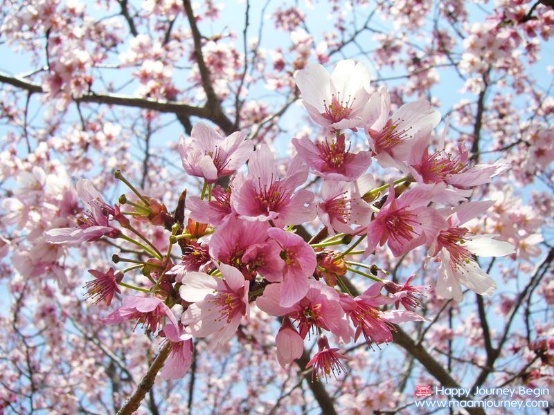 Sakura_Cherry Blossom_1