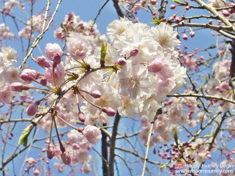 Sakura_Cherry Blossom_3