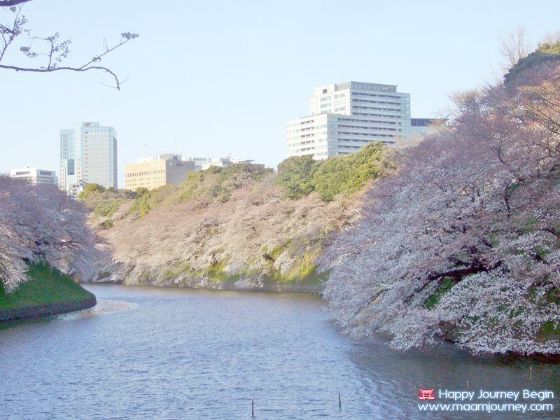 Sakura_Chidorigafuchi_1