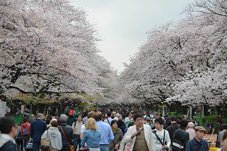 Sakura_Ueno Park_Japan Guide