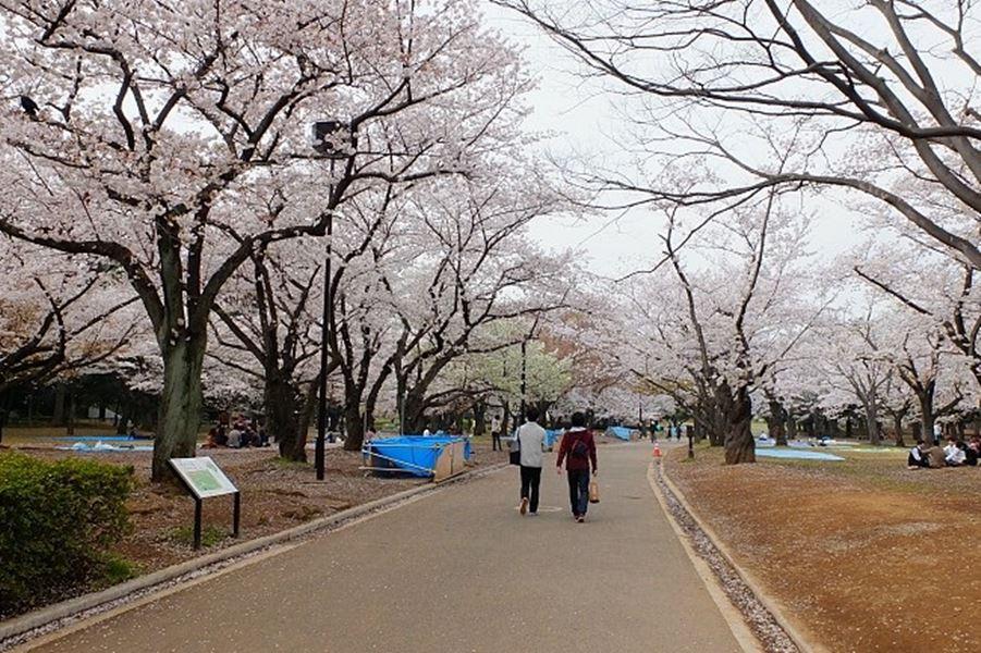 Sakura_Yoyogi Park