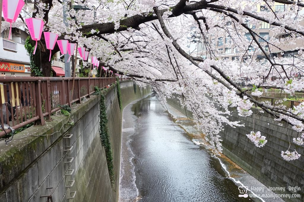 Cherry Blossom_meguro_3