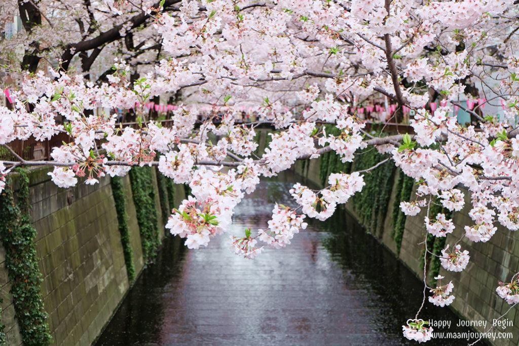 Cherry Blossom_meguro_4