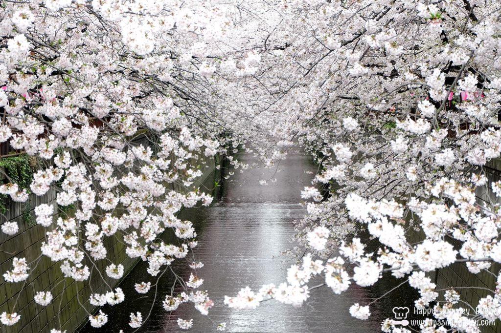 Cherry Blossom_meguro_5