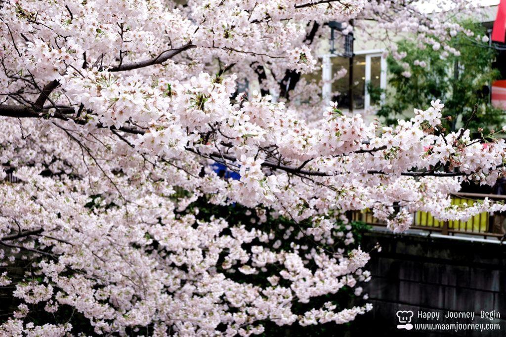 Cherry Blossom_meguro_6