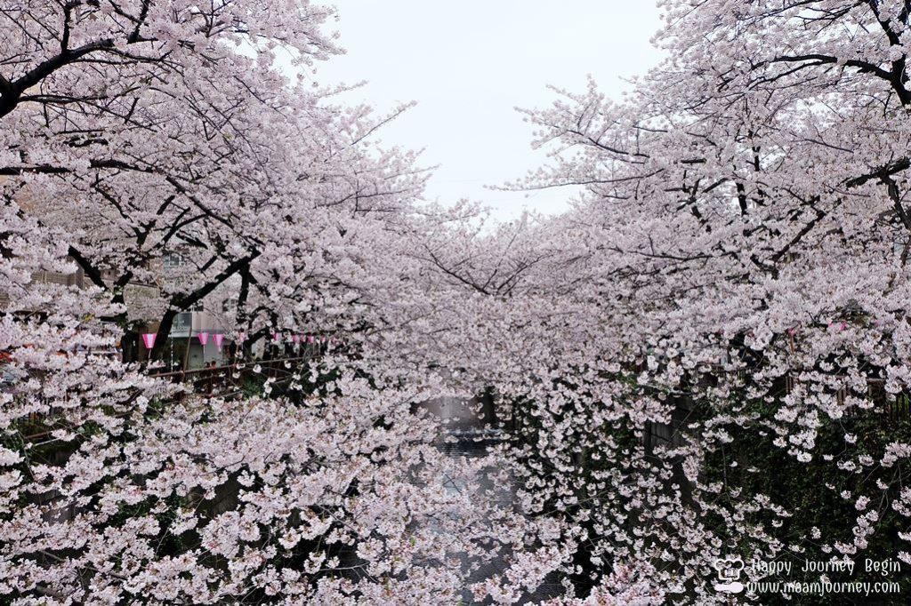 Cherry Blossom_meguro_7