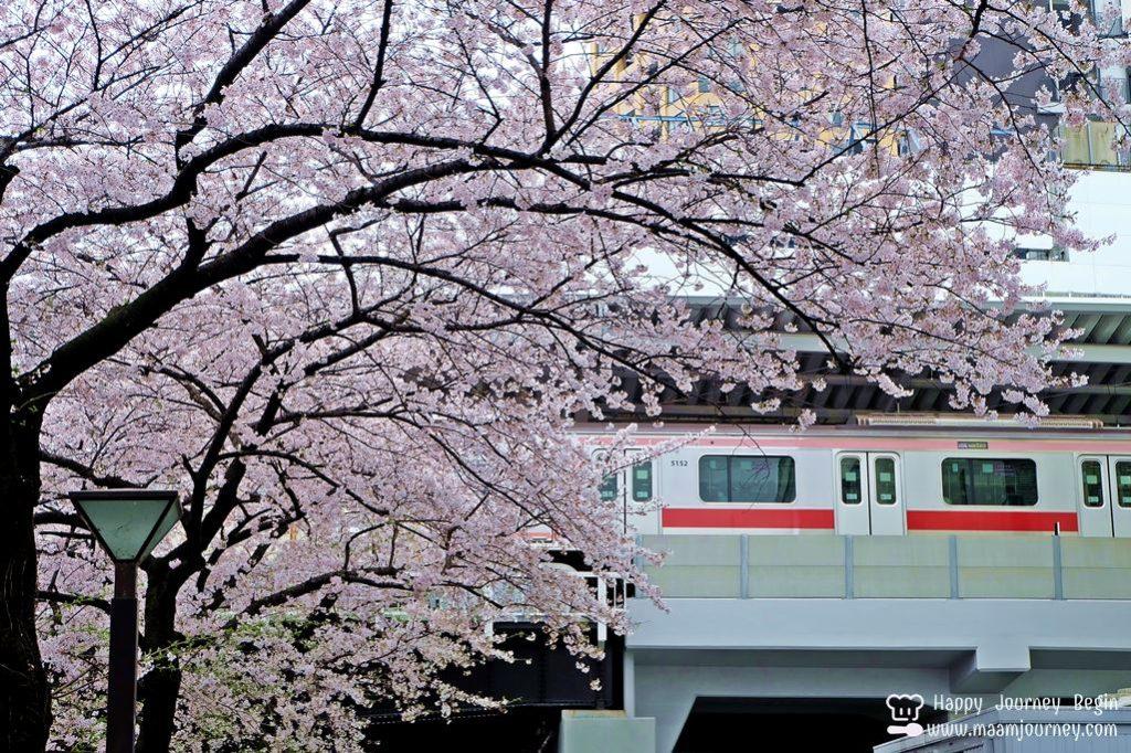 Cherry Blossom_meguro_9